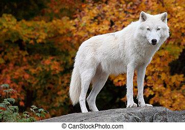 ártico, olhar, câmera, lobo, dia baixa