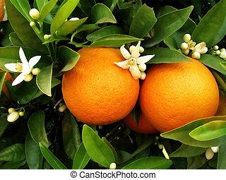 árvore alaranjada, dois, laranjas