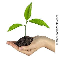 árvore, crescendo, mão, solo