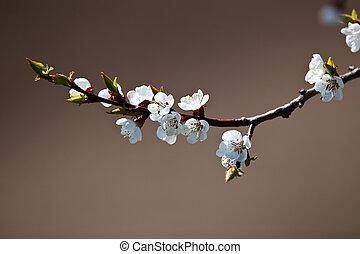 árvore, -, florescer, maçã, primavera