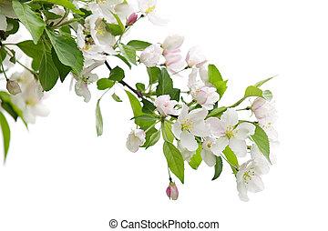 árvore, maçã, ramo, florescer
