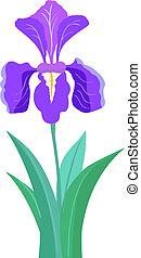 íris, flor, ilustração