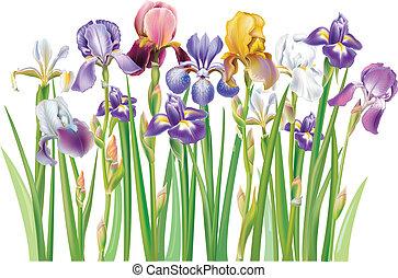 íris, multicolor, flores, borda