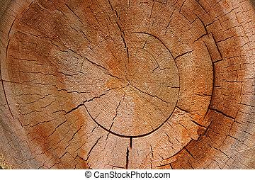 -, seção, árvore, crucifixos, anel crescimento, circular