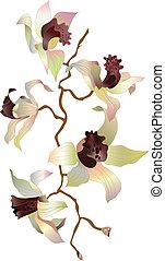 1, ramo, orquídea