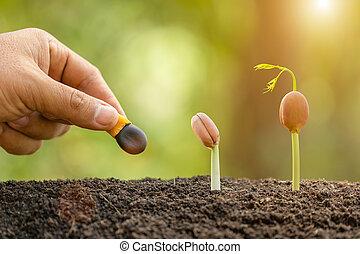 afzelia, mão, plantação árvore, mong, sementes, agricultor, doussie, crescimento, makha, conceito, meio ambiente, soil., ou, pretas