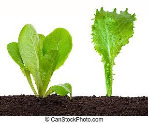 alface, seedling, solo