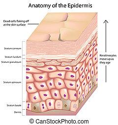 anatomia, 3d, epiderme