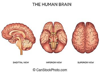 anatomia, cérebro humano, detalhado