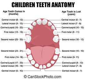 anatomia, crianças, dentes