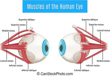 anatomia, diagrama, olho, human