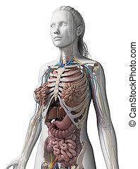 anatomia, femininas