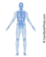 anatomia, human