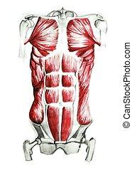 anatomia, músculos, abdominal