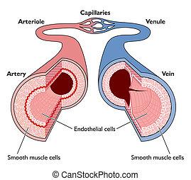 anatomia, navios sangue