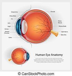 anatomia, vetorial, olho, human, ilustração