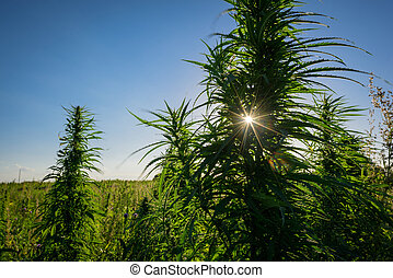 ao ar livre, planta, marijuana