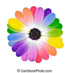 arco íris, multi, flor, colorido, pétalas, margarida
