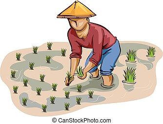 arroz plantando, homem, agricultor