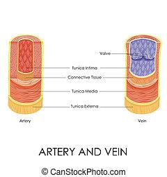 artéria, veia