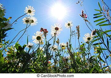 azul, verão, flor, céu, margarida