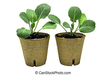bebê, plantas, repolho, dois