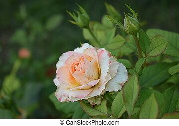 bege, close-up., pétalas rosa, bushy, cor-de-rosa, verde sai, bonito, rosas