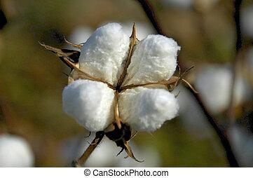 boll, algodão