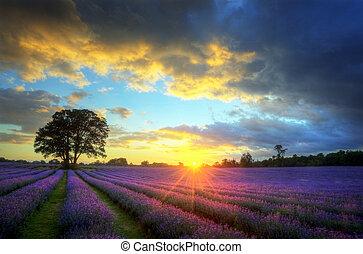 bonito, atmosférico, maduro, vibrante, campo, campos, imagem, céu, lavanda, impressionante, pôr do sol, inglês, nuvens, sobre, paisagem