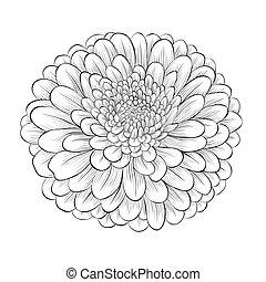 bonito, flor, isolado, experiência preta, monocromático, branca