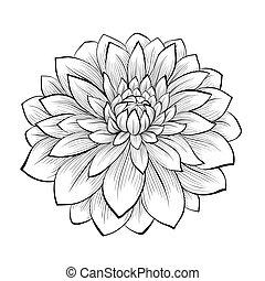 bonito, flor, isolado, experiência preta, monocromático, dahlia, branca