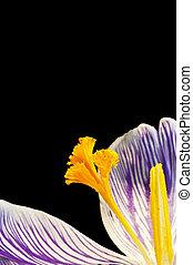 bonito, flor, roxo, primavera, detalhe, amarela, cima, impressionante, fresco, macro, fim, açafrão
