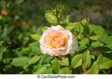 bonito, folhas, verde, cor-de-rosa, bushy, pétalas, bege, rosa, rosas, close-up.
