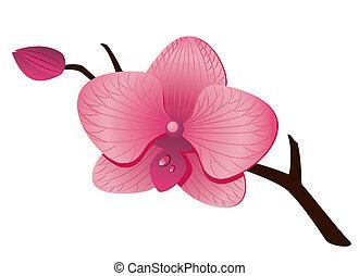 bonito, orquídea rosa