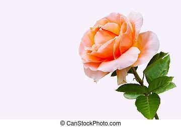 bonito, rosa, close-up, flor