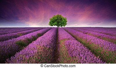 bonito, verão, contrastar, imagem, árvore, cor campo alfazema, cores, pôr do sol, paisagem, horizonte, único