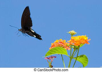 borboleta, conceito, voando, freedom., livre, swallowtail