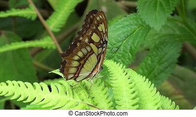 borboleta, marrom