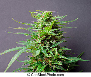 broto, cannabis, fresco, maduro, marijuana, médico, planta