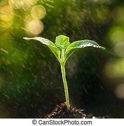 broto, solo, manhã, luz, crescendo, saída