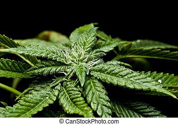 brotos, fresco, planta, closeup, marijuana