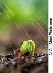 brotos, rain., verde, solo