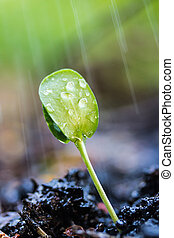 brotos, verde, rain.