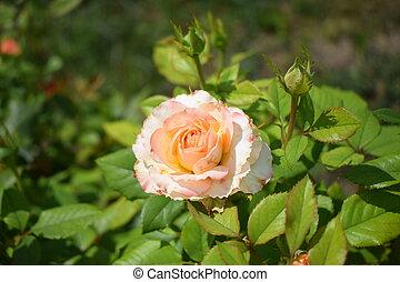 bushy, bege, bonito, close-up., folhas, rosas, pétalas, verde, cor-de-rosa levantou-se