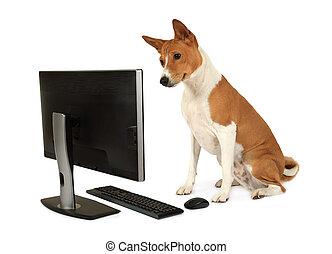 cão, basenji, monitor, olha, computador