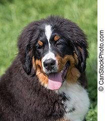 cão, bernese, ao ar livre, retrato, montanha, bouvier
