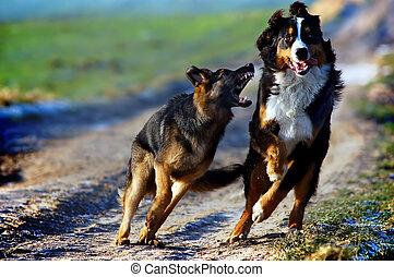 cão montanha bernese