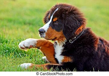 cachorro montês, retrato, filhote cachorro, bernese