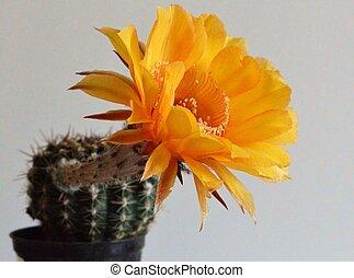 cacto, amarela, flower.