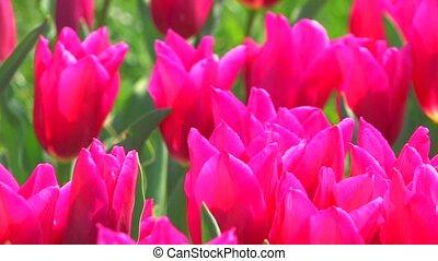 cama, balançando, tulips, flor cor-de-rosa